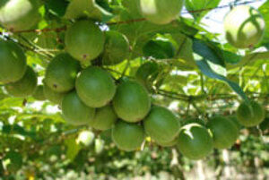Monk Fruit Juice Launched as Sugar Substitute
