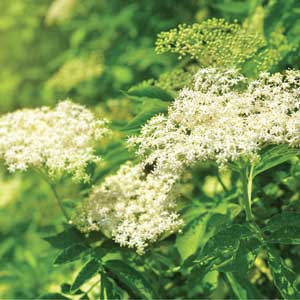 Blooming elderflower