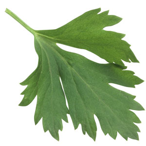 Parsley-leaf-300