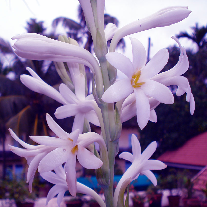 Polianthes-lilac-850