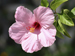 Hibiscus flower