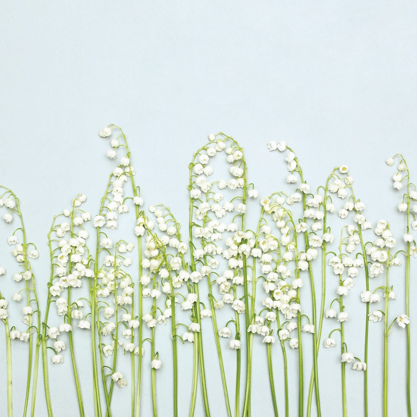 Whole bunch of lily-of-the-valley