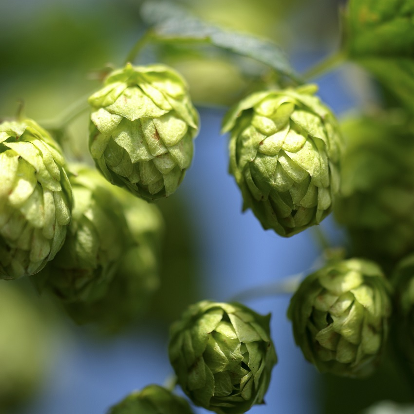 Hops growing on the vine