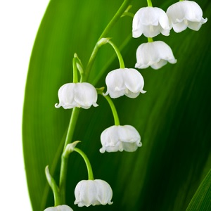 A lily-of-the-valley flower
