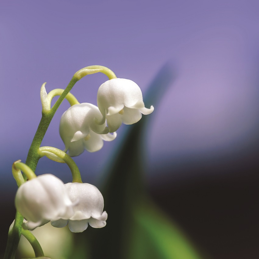 A lily of the valley flower