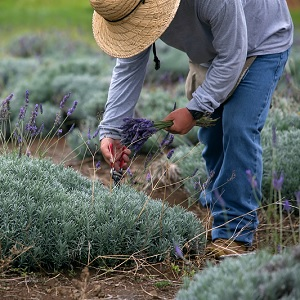 Essential Oils & Lavender Farmers Affected by Regulations
